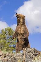Brown Bear on Hind Legs Fine Art Print