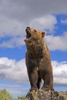 Brown Bear Roaring on Rock Fine Art Print