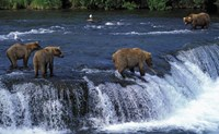 Group of Brown Bears in Lake Fine Art Print