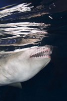 Great White Shark Preying in Water Fine Art Print