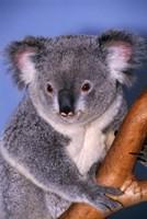 Baby Koala Holding Branch Fine Art Print