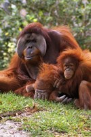 Two Orangutangs in Grass Fine Art Print