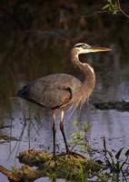 Heron in Lake Fine Art Print