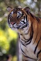 Gorgeous Tiger Close Up Fine Art Print