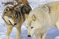 Close Up of Two Wolves in the Snow Fine Art Print