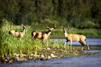 Three Deer in Marshland Fine Art Print