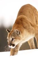 Bobcat on the Prowl Fine Art Print