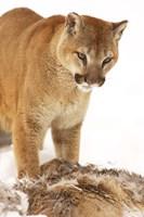 Bobcat Standing over Prey Fine Art Print
