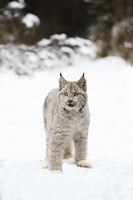 Grey and White Animal in Snow Fine Art Print