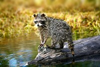 Soaking Wet Critter Coming out of Lake Fine Art Print