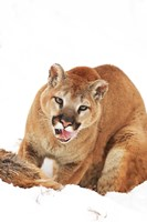 Yellow Bobcat with Open Mouth Fine Art Print