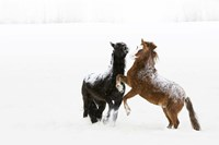 Black and Brown Horse in Snow Fine Art Print