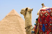 Close Up of Camel and Pyramid Fine Art Print