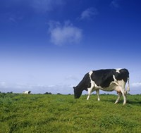 Cow Grazing against Clear Blue Sky Fine Art Print