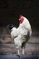 White Fowl Fine Art Print