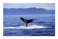 Tail fin of a Humpback Whale in the sea, Alaska, USA Fine Art Print