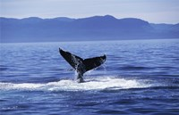 Tail fin of a Humpback Whale in the sea, Alaska, USA Fine Art Print