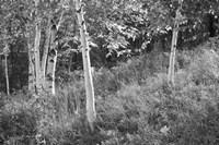 Sunlit Birches I Framed Print