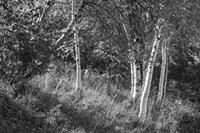 Sunlit Birches II Framed Print