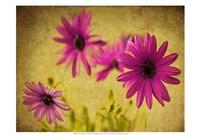 Fuchsia Daisy II Fine Art Print