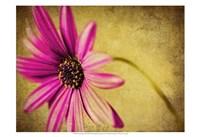 Fuchsia Daisy III Fine Art Print