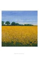 Field of Sunflowers I Framed Print