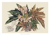 Begonia Varieties I Fine Art Print