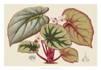 Begonia Varieties IV Fine Art Print