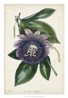 Plum Passion Flower Fine Art Print