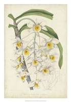 Orchid Delight III Fine Art Print