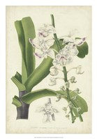 Orchid Delight IV Fine Art Print