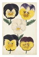 Antique Pansies II Fine Art Print