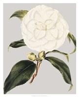 Camellia Japonica I Fine Art Print