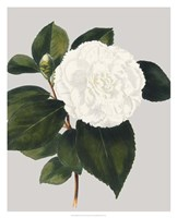 Camellia Japonica II Fine Art Print