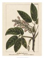 California Horse Chestnut Fine Art Print