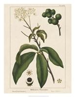 Round fruited Honeyberry Fine Art Print