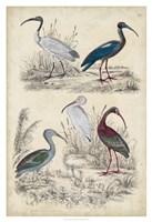 Ibis Family Fine Art Print