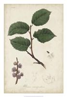 Medicinal Botany III Fine Art Print