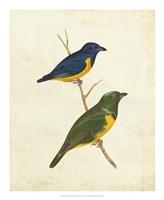 Peruvian Tanager I Fine Art Print