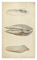 Marine Mollusk I Fine Art Print