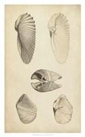 Marine Mollusk III Fine Art Print