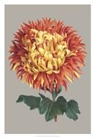 Chrysanthemum on Gray I Fine Art Print