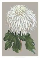 Chrysanthemum on Gray II Fine Art Print