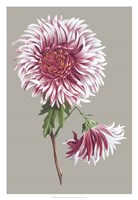 Chrysanthemum on Gray III Fine Art Print