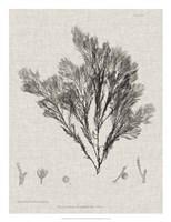 Charcoal & Linen Seaweed V Fine Art Print