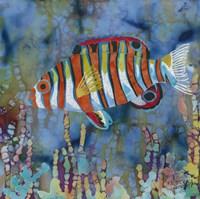 Harlequin Tusk Fish Fine Art Print