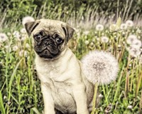 Pug with Dandelion Framed Print