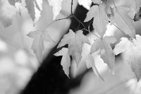 Leaves and Light Fine Art Print