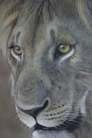Lion King Fine Art Print