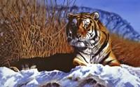 Siberian Tiger In Snow Fine Art Print